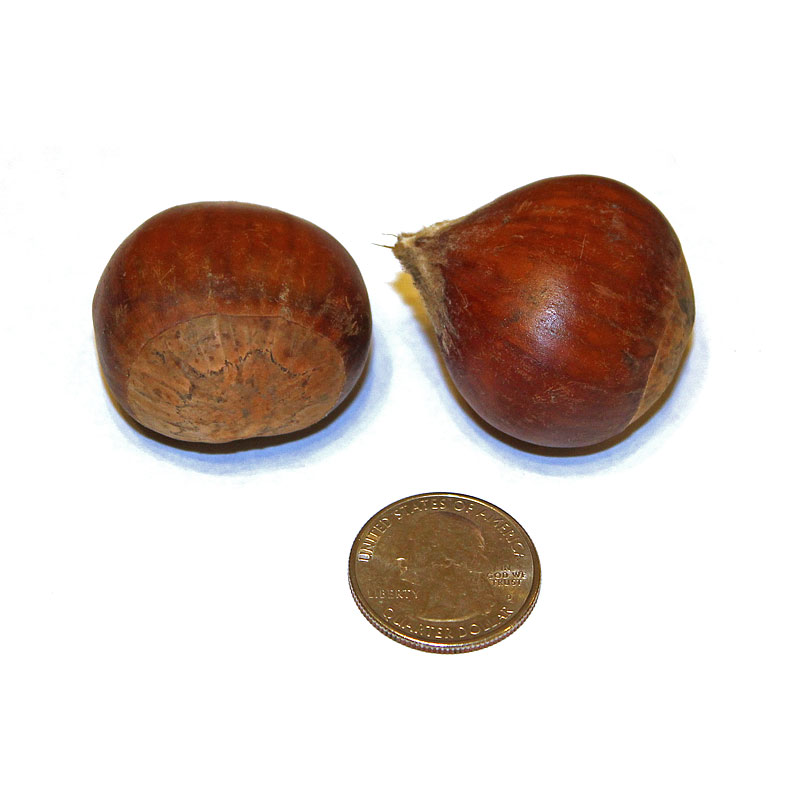 Buy - Extra Large Chestnuts