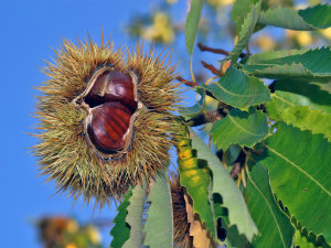 Sweet chestnuts ripening